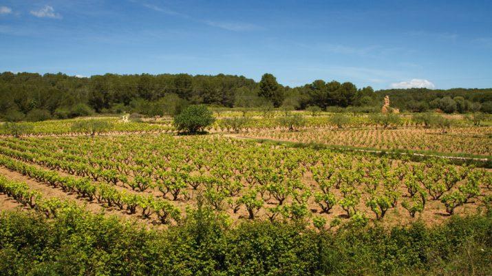 Vinyes al terme municipal de Tarragona (foto: Quim Pons)