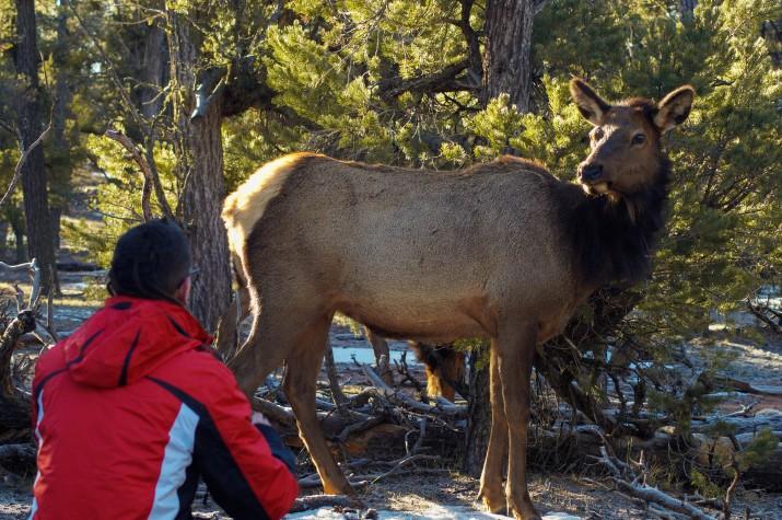 Parc Nacional del Grand Canyon contemplant un cèrvol salvatge